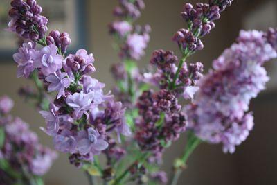 LilacLovelies2