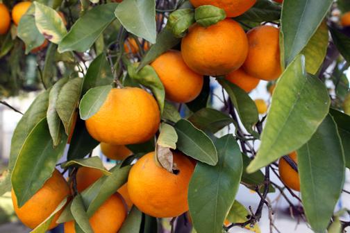 CitrusHarvest8