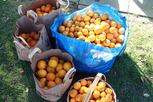 CitrusHarvest1