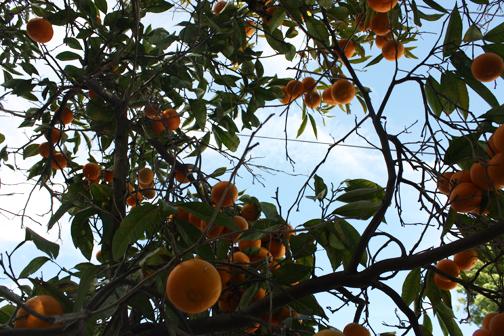 CitrusHarvest6